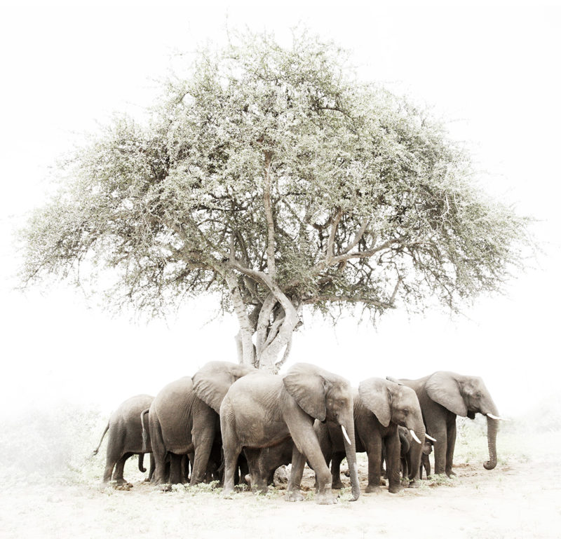 A breeding herd of African elephants gather around an acacia tree seeking shade and respite from the fierce midday heat