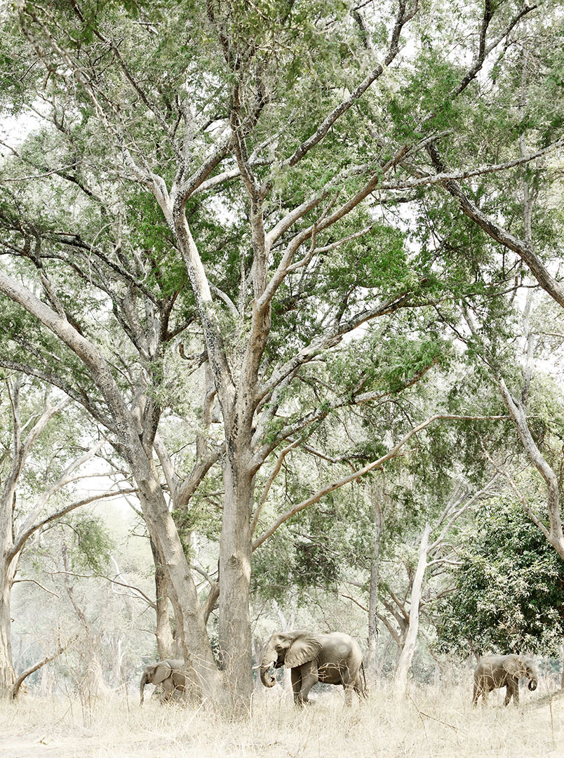 African elephant walking through forest at Mana Pools National Park in Zimbabwe