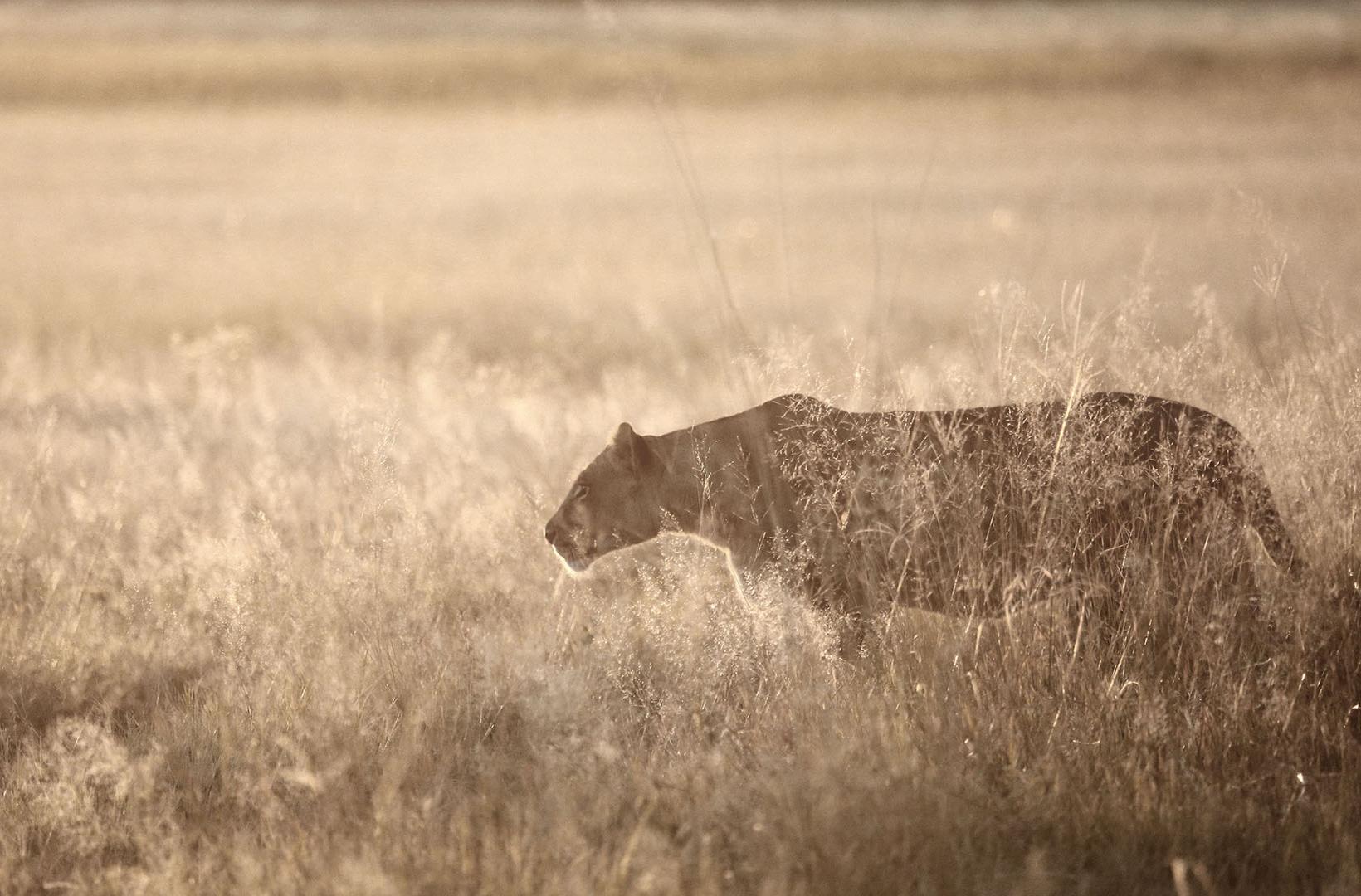 African lioness stalks through long grass at dusk at Khwai River Botswana