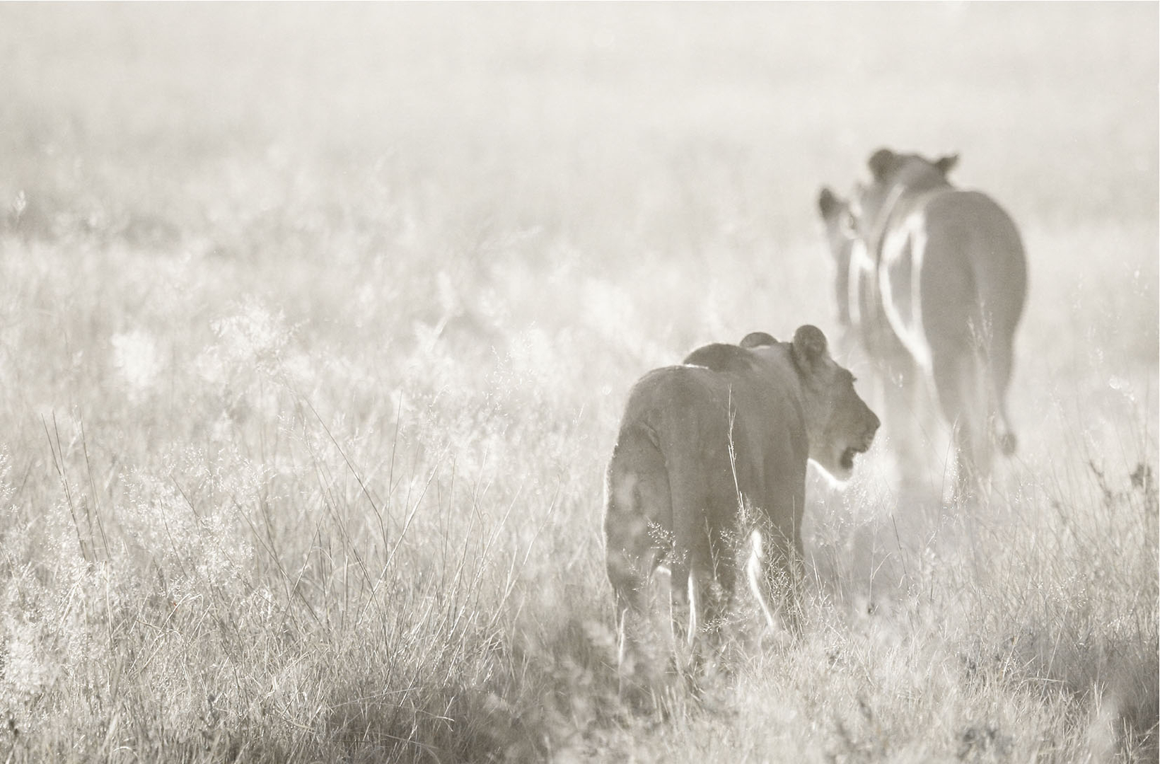 African lionesses patrol a grassy plain at dusk at Khwai River in Botswana