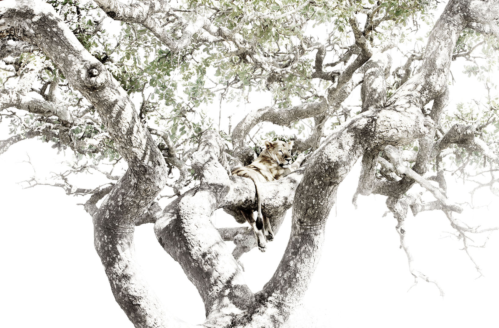 African lioness perches in the bough of an acacia tree of the Serengeti Tanzania