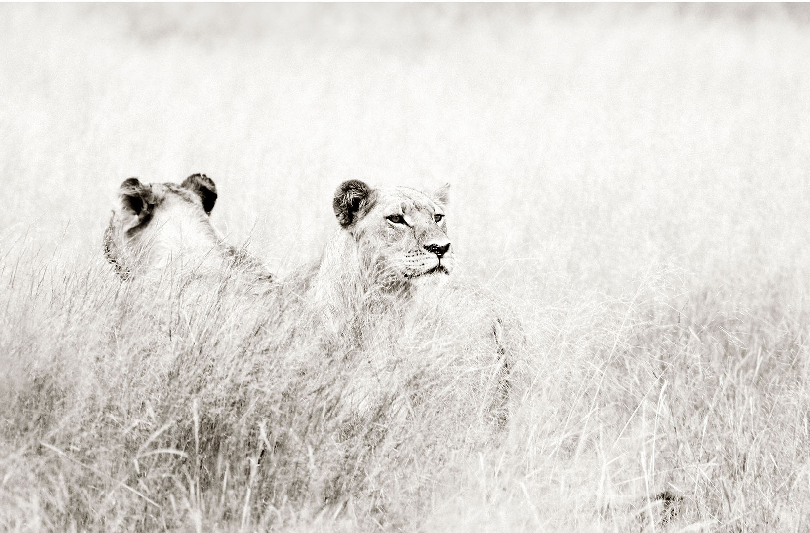 Two African lionesses scan the landscape from opposing angles at Mbiza, Hwange National Park Zimbabwe