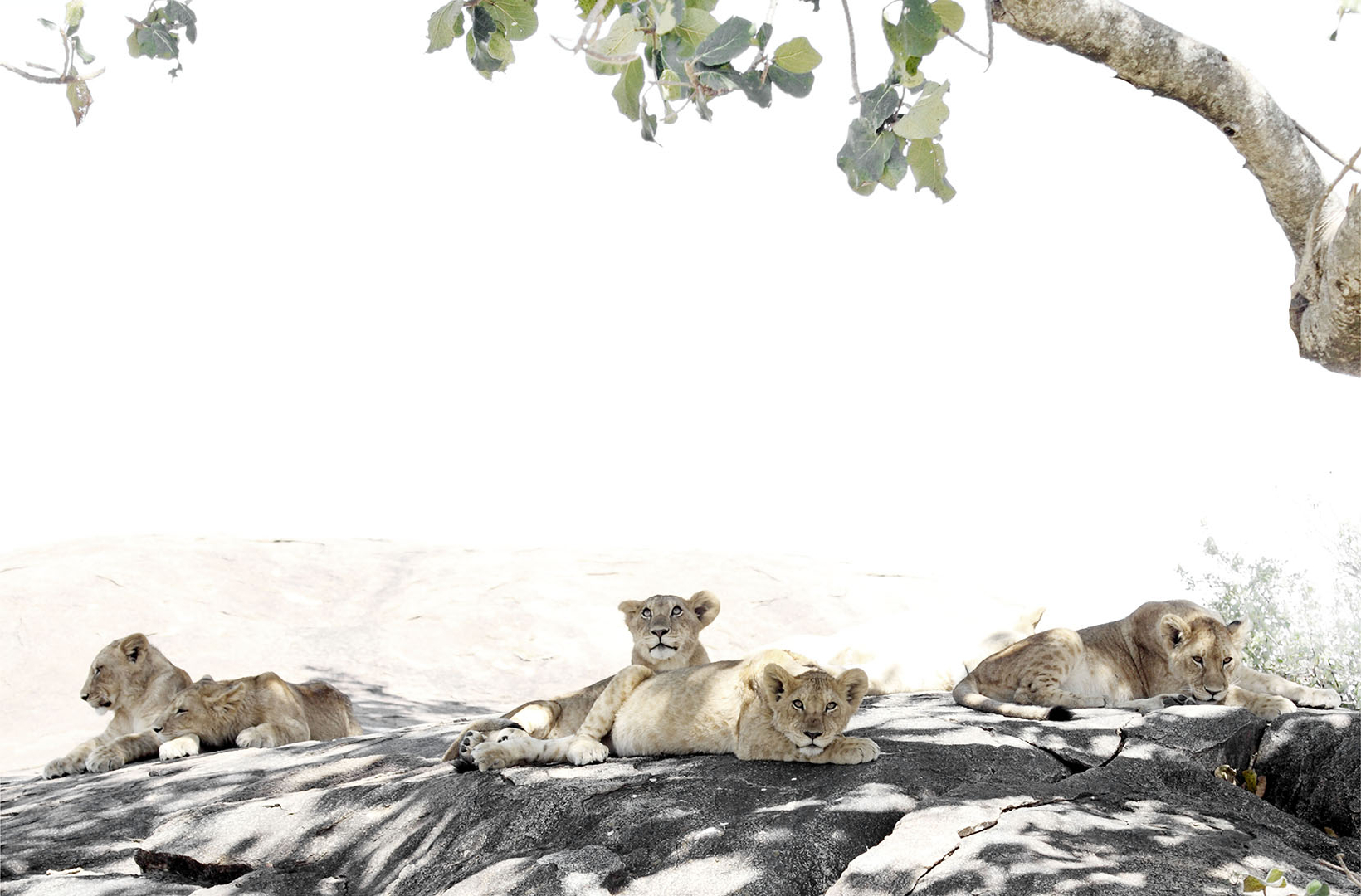 African lion cubs seek dappled shade on a boulder in the midday heat of the Serengeti Tanzania