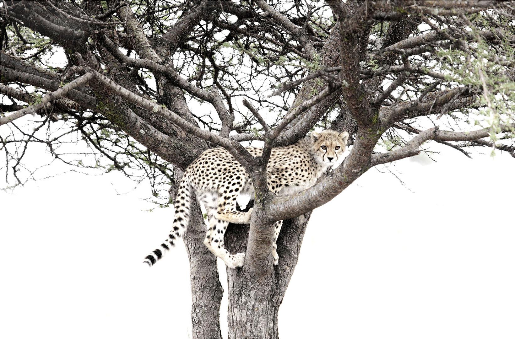 African cheetah cub climbs in to a tree in the Serengeti Tanzania