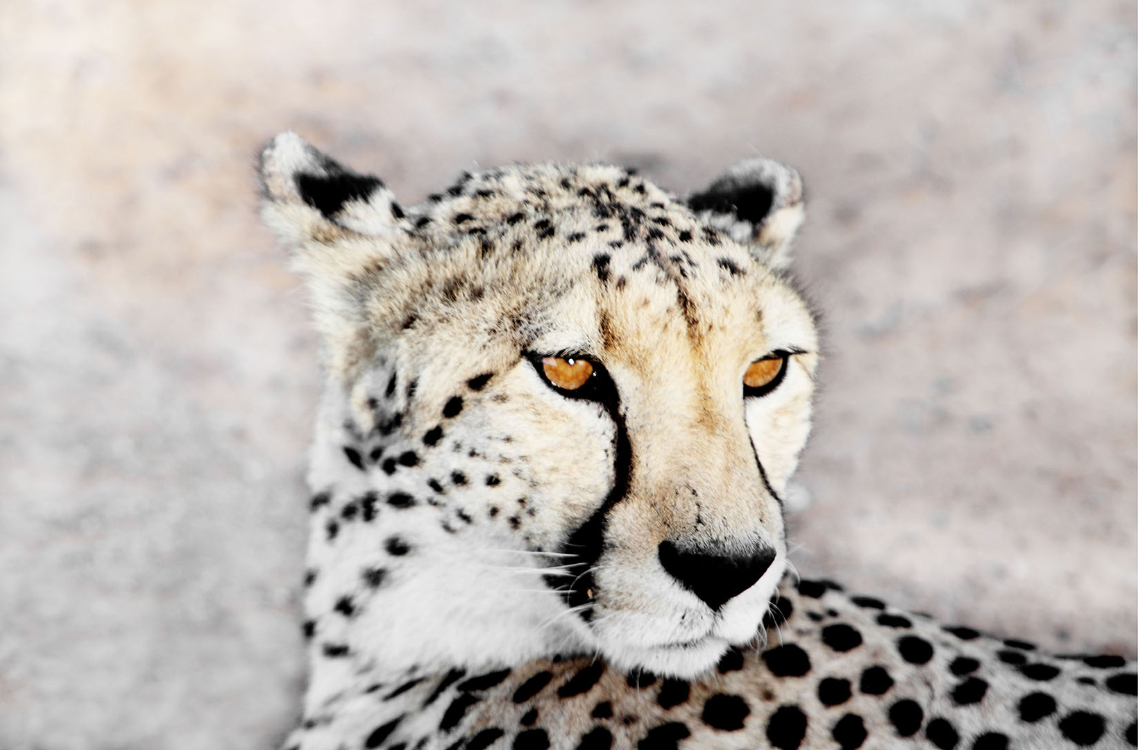 A regal portrait of the fixated stare of an amber eyed cheetah in the serenegti of Tanzania