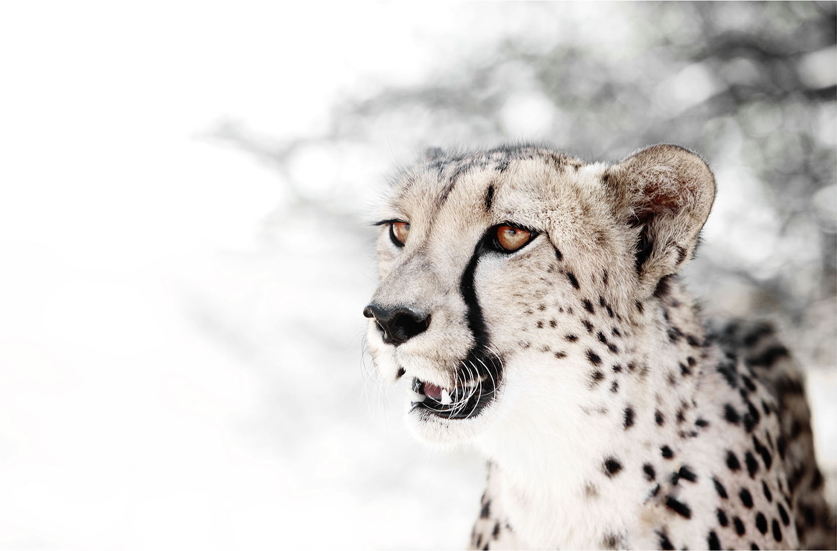 An African cheetah gazes in to the distance with piercing amber coloured eyes in the Serengeti National Park Tanzania