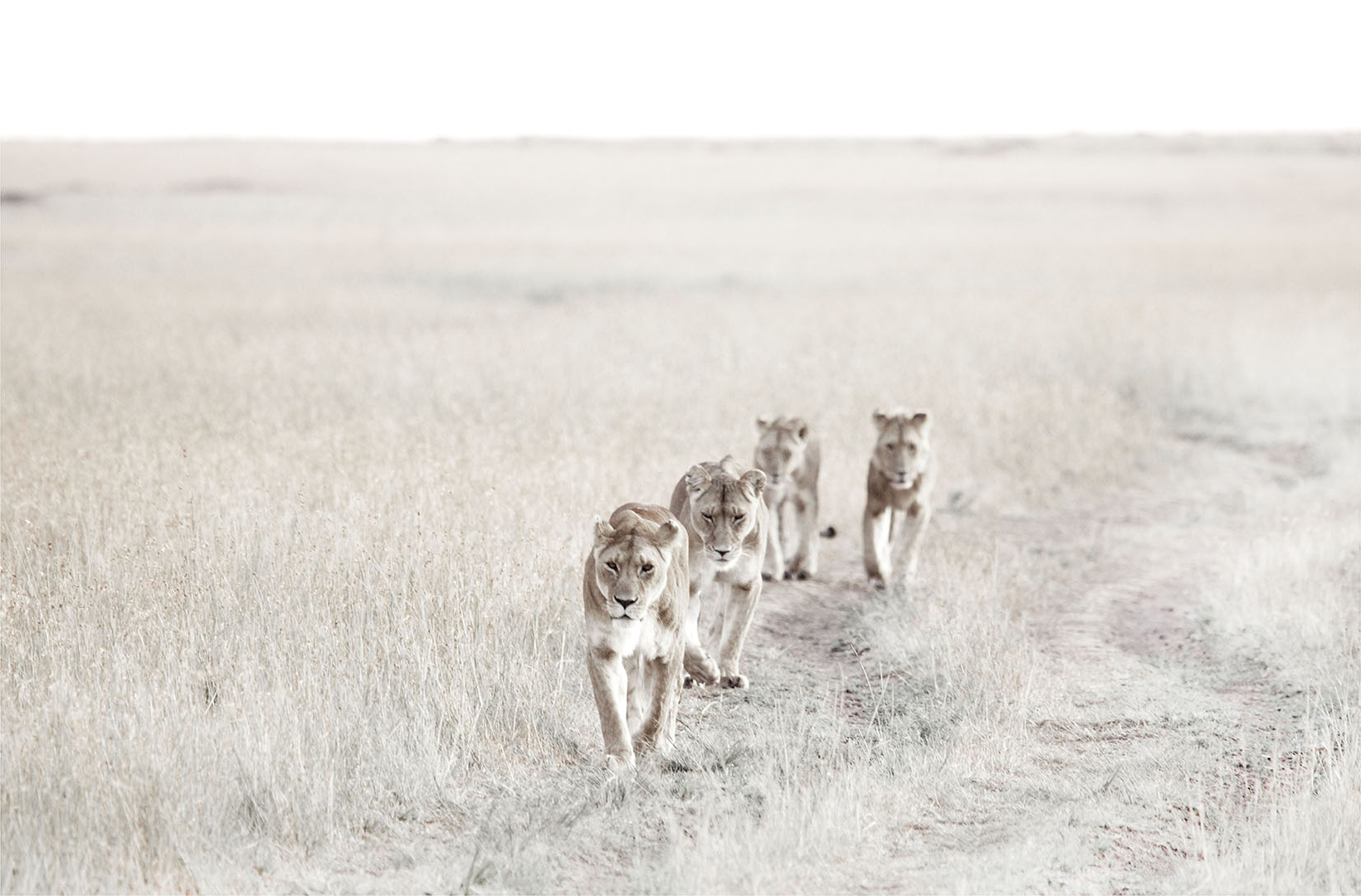 A pride of African lionesses follow each other along a jeep track across the Masai Mara in Kenya, at dawn
