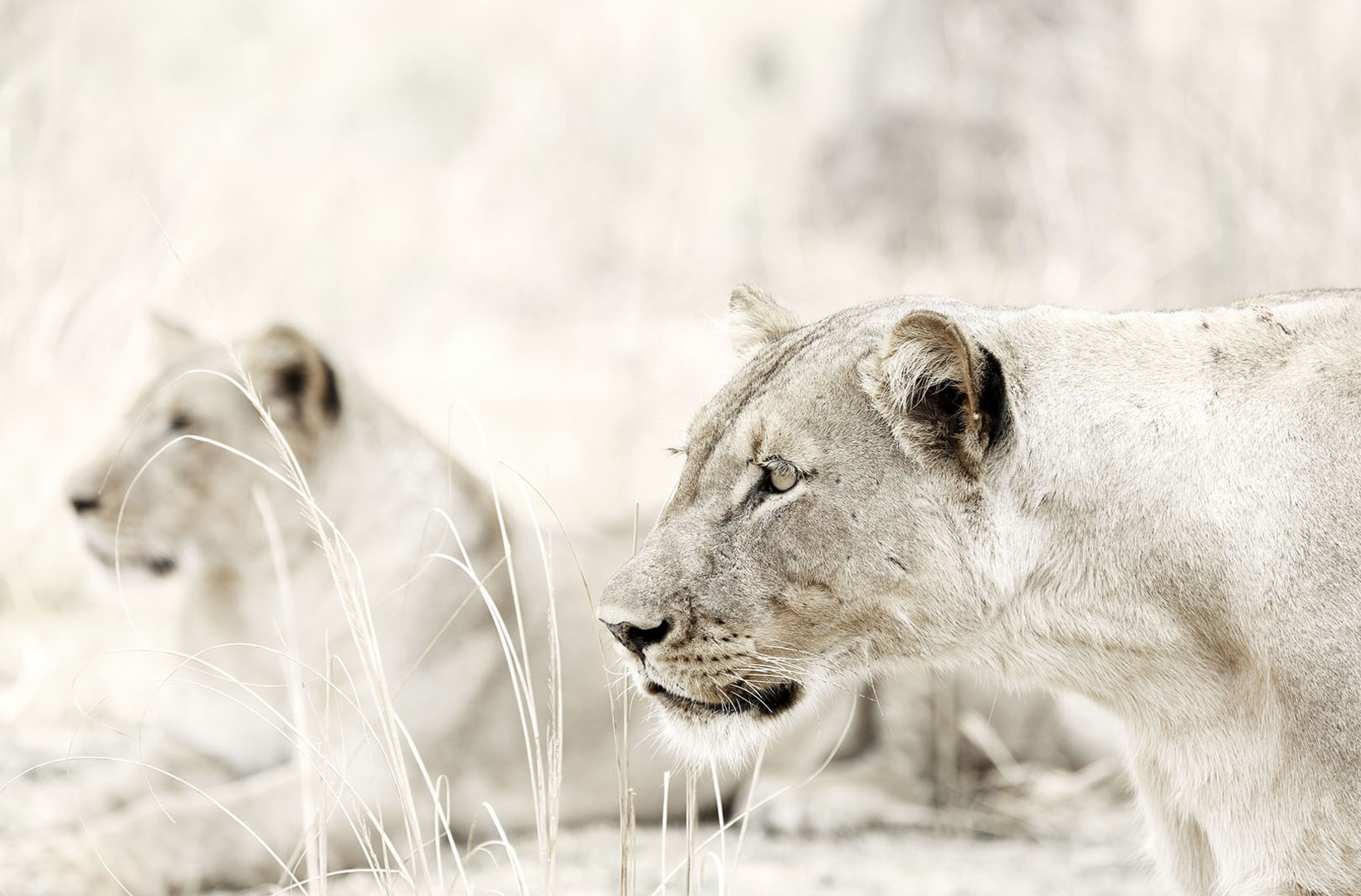 An African lioness stares intensely at potential prey and prepares to stalk in Mana Pools Zimbabwe