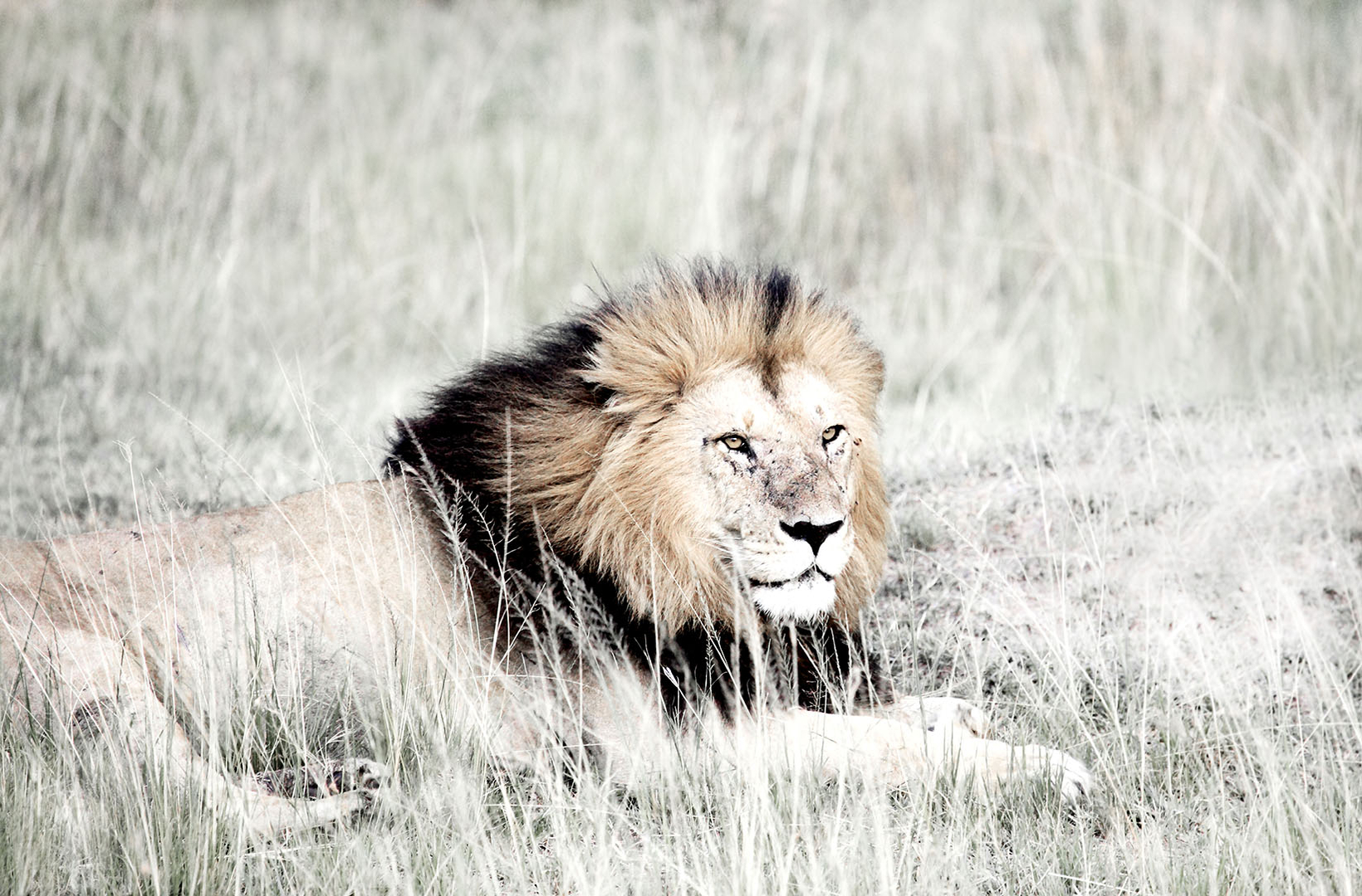 An African male lion gazes from his resting spot on the Masai Mara of kenya