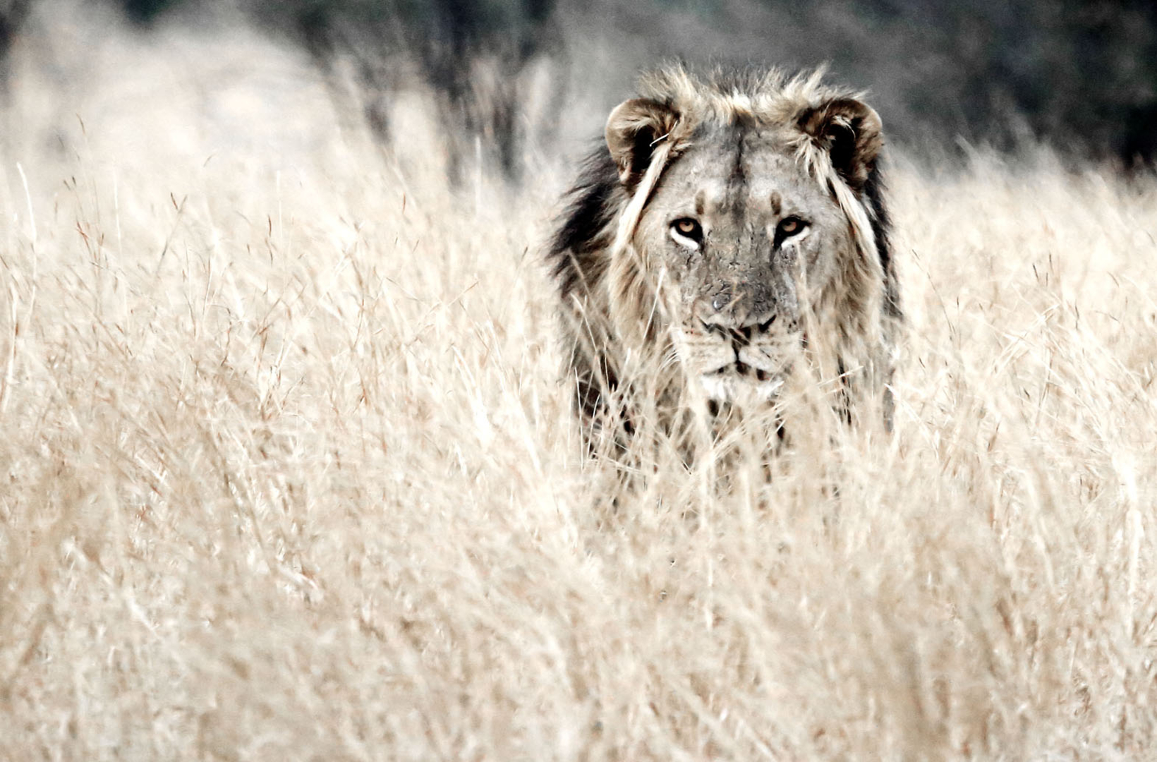 An African male lion named Bhubesi from Hwange National Park Zimbabwe defends his territory