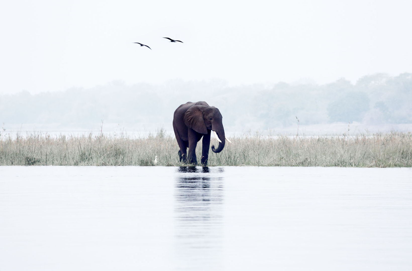 A lone african elephant drinks at the Zambezi River as dusk settles and geese fly windward across the horizon