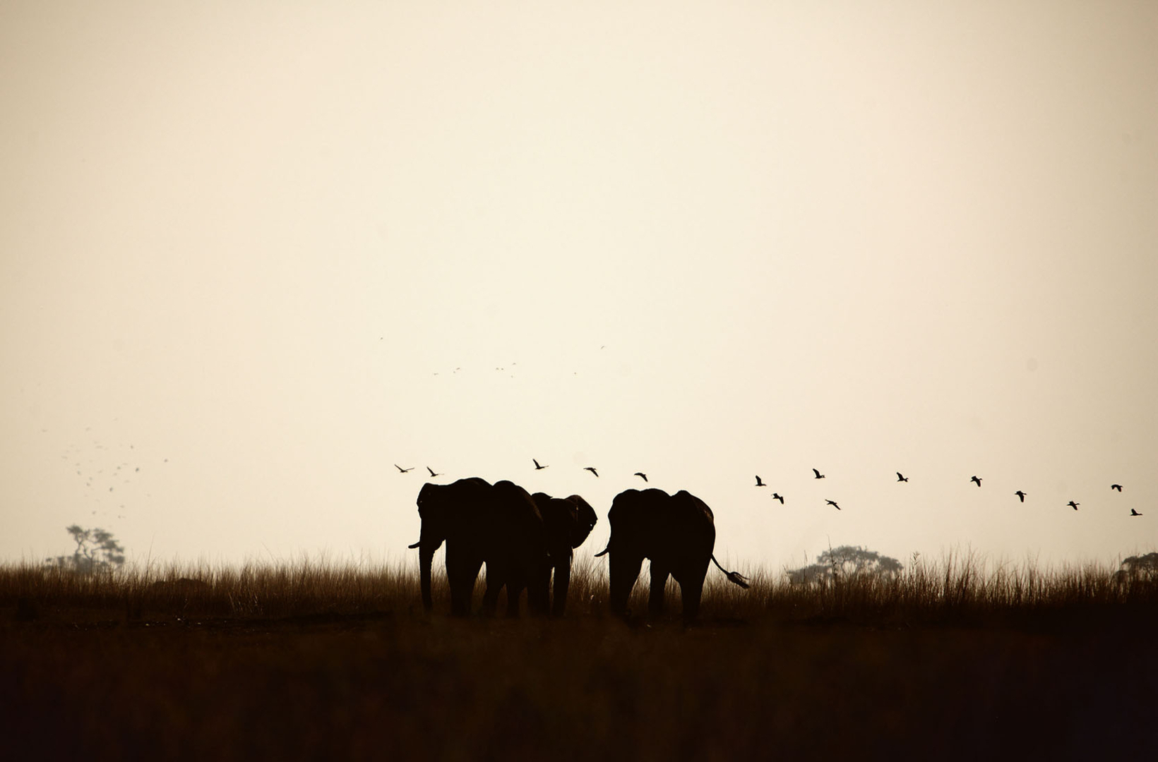 A small herd of elephants wander the grassy river banks of the Chobe River Botswana at sunset whilst egrets create a magical backdrop to the scene