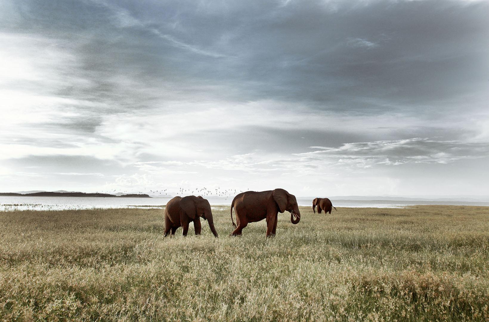 African elephants graze the fertile banks of Lake Kariba Zimbabwe