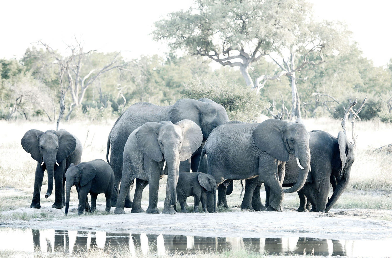 A herd of African elephants gather at Khwai river Botswana to water themselves and cool off in the midday heat