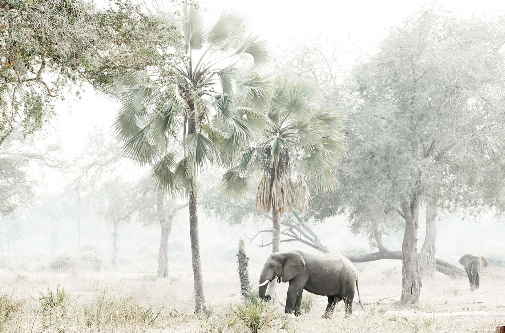 African elephants wander through the intense midday heat of Lower Zambezi Zambia