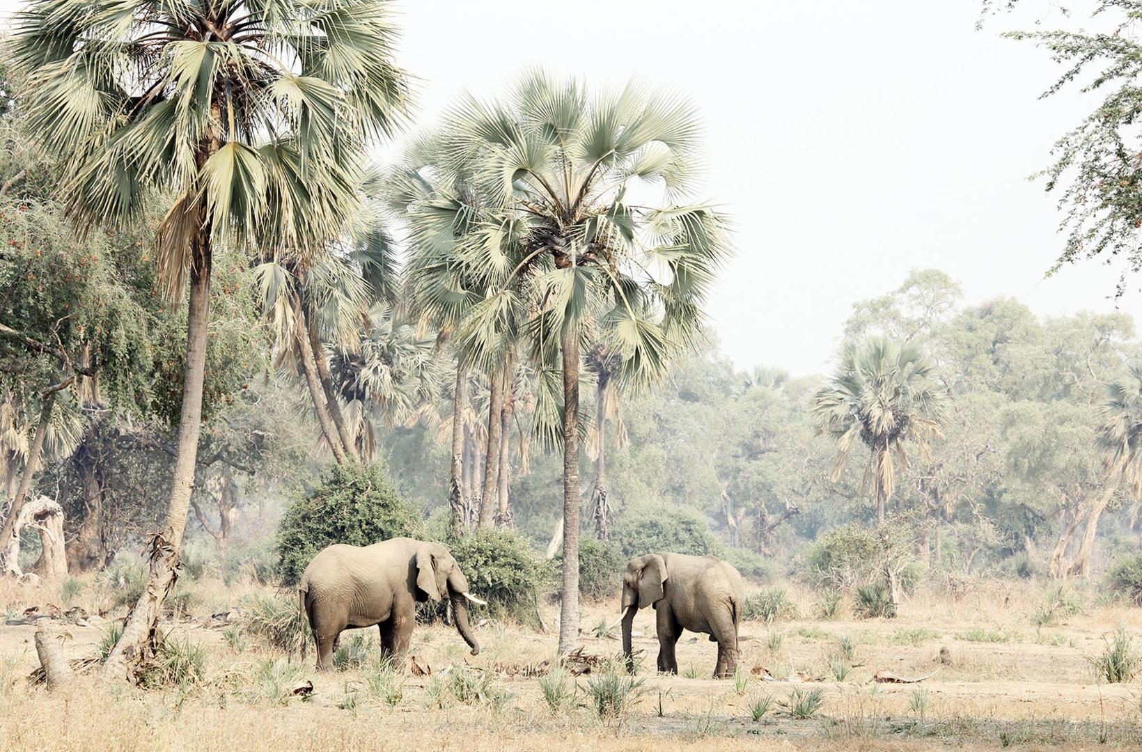 Two African elephants mill around Lala palms in Lower Zambezi Zambia, foraging for fallen date nuts