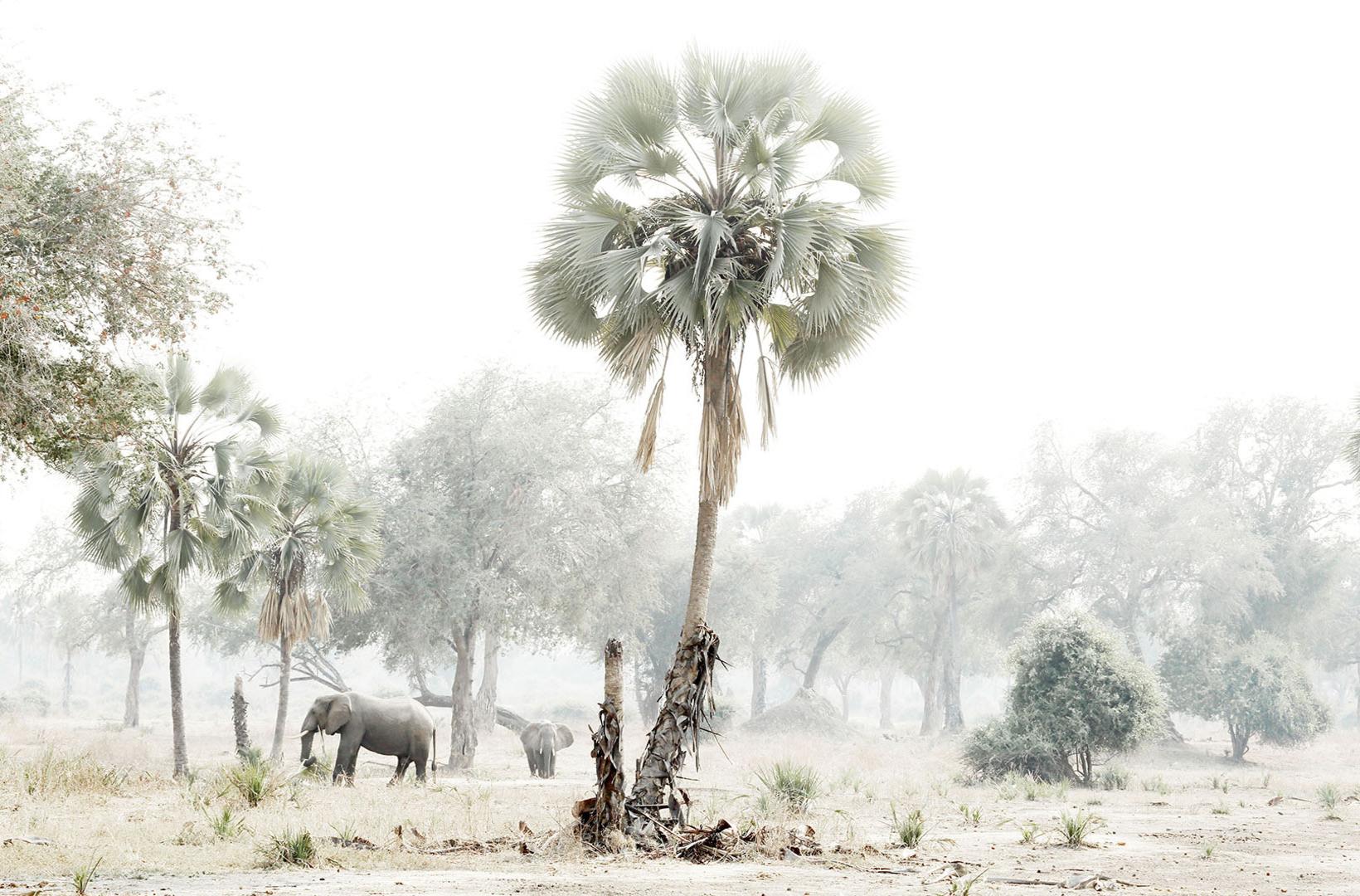An African elephant wanders through the hazey landscape of Lower Zambezi Zambia where lala palms dot the treed landscape