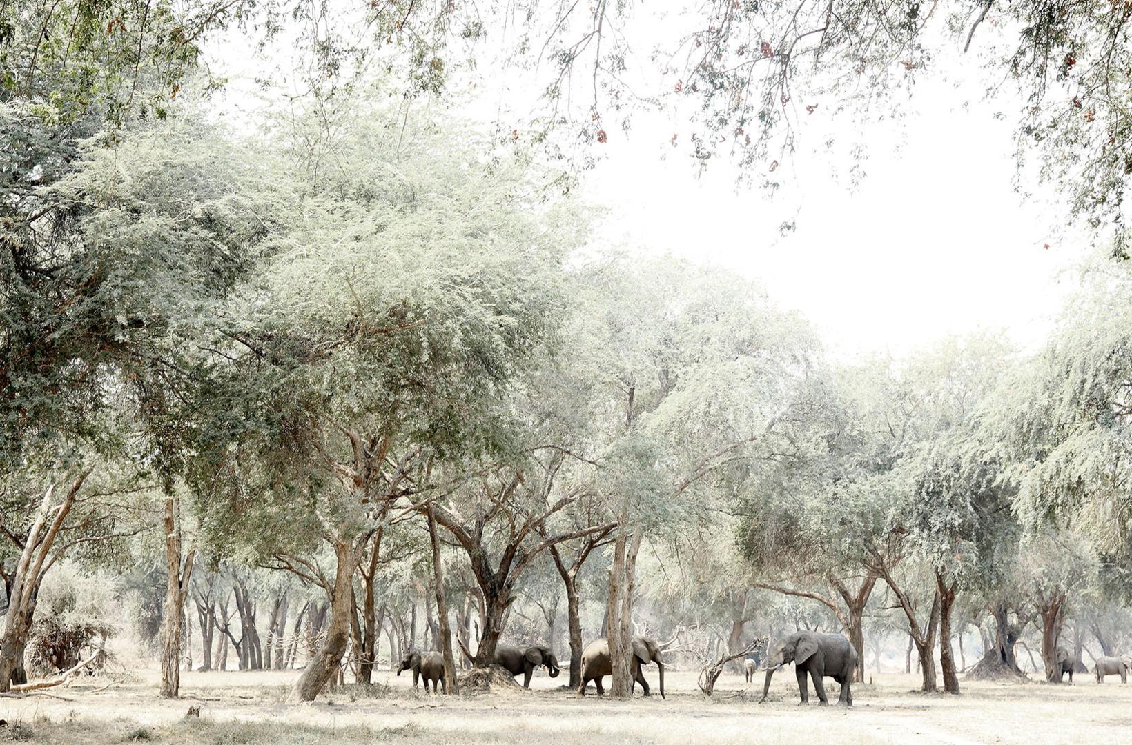 Herd of African Elephants glide through Albida Fibida glades of Lower Zambezi National Park Zambia