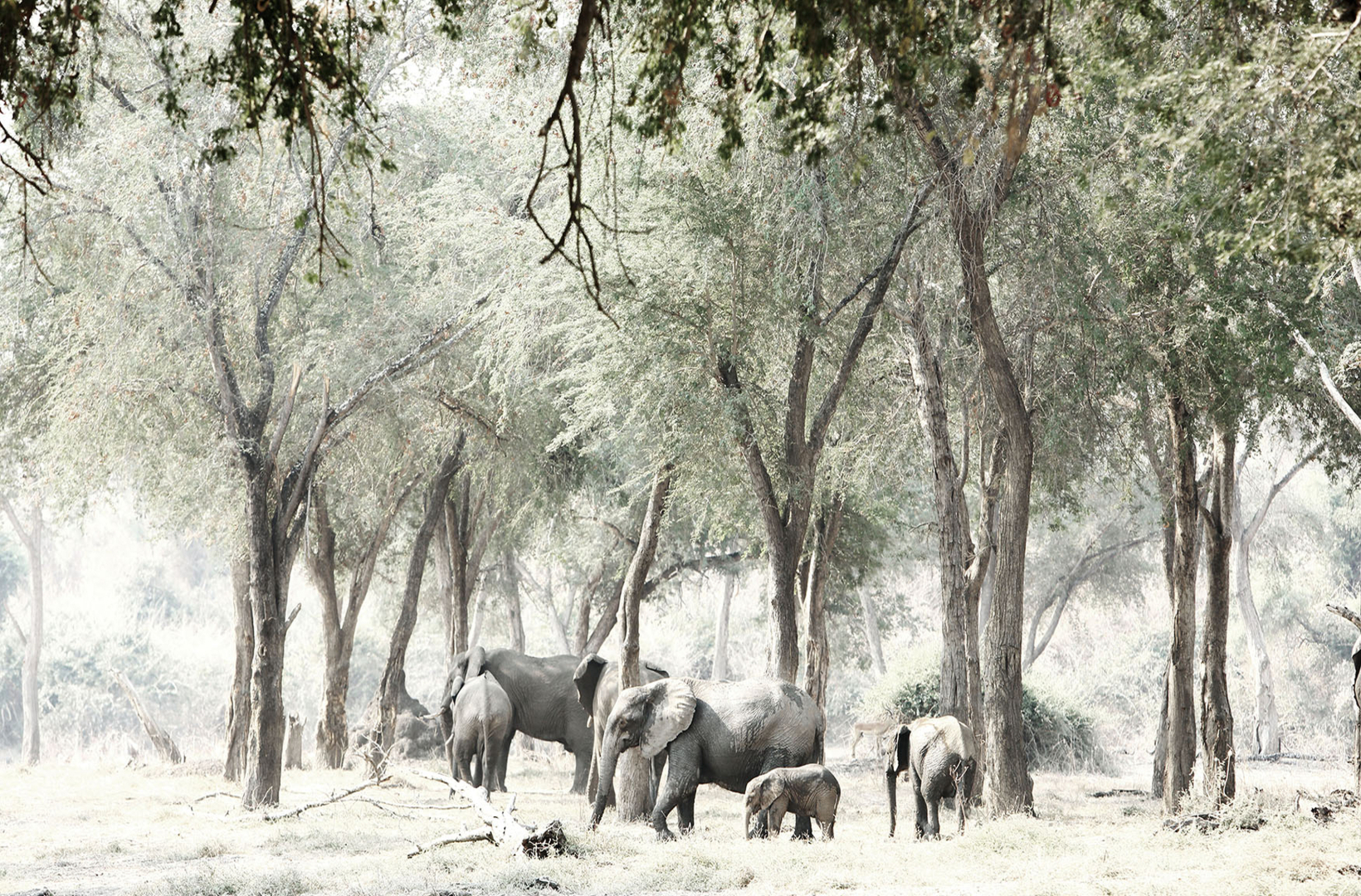A breeding herd of African elephants while away the heat of midday amongst riverine glades of Mana Pools National Park in Zimbabwe