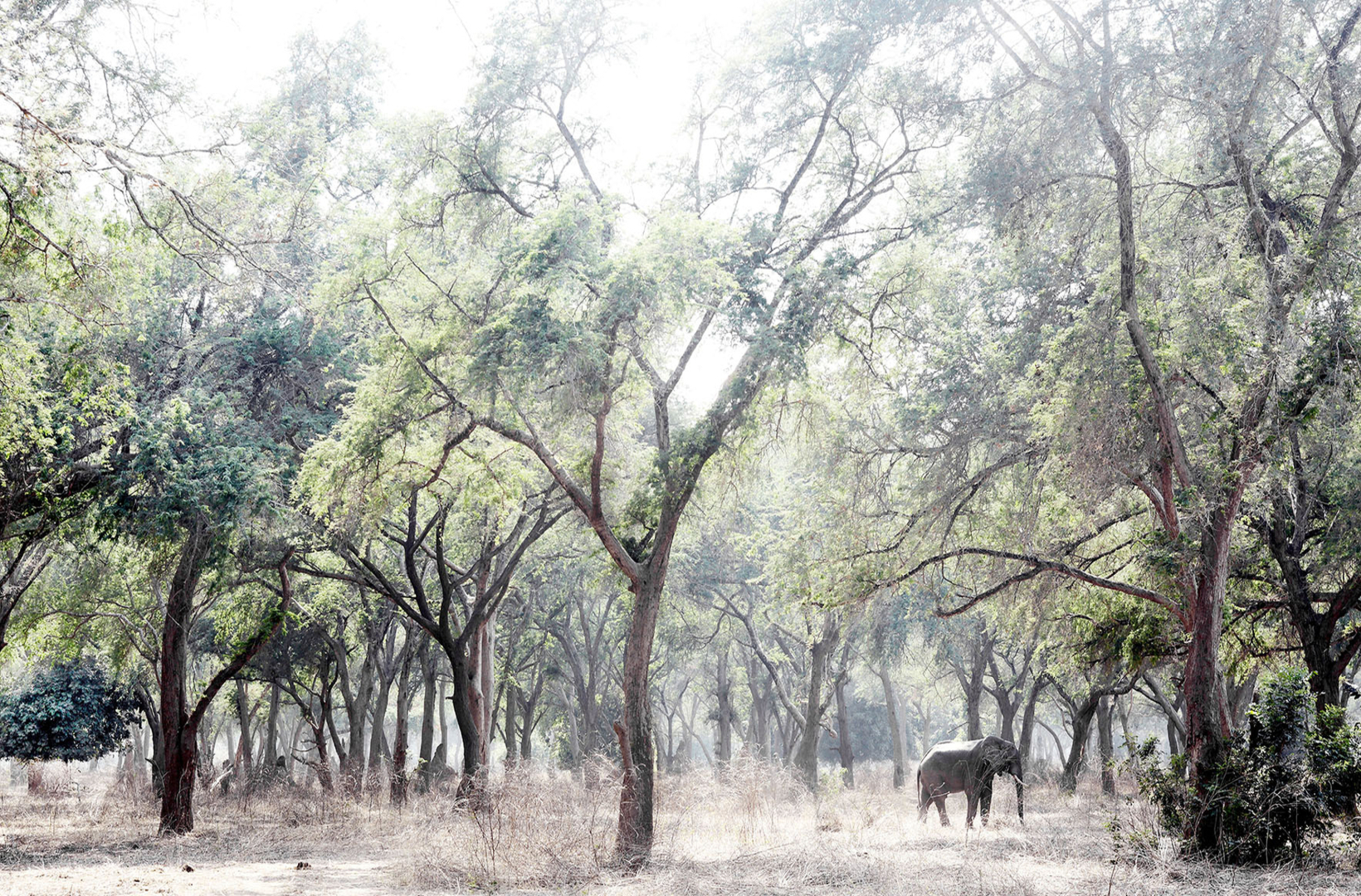 An African elephant rests in the dappled shade of Acacia at Mana Pools National Park in Zimbabwe