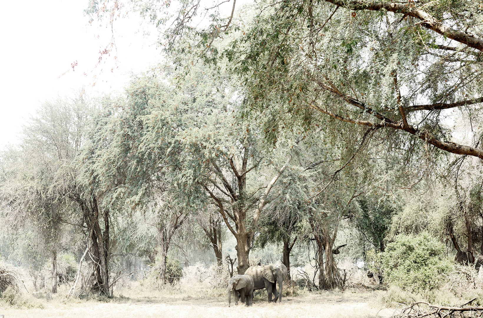 African elephants walk through riverine forest at Mana Pools National Park in Zimbabwe towards the river