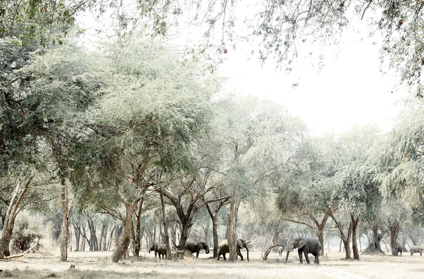 A group of African elephants mill around the shade of Albida Fibidas searching for fallen seed pods in Lower Zambezi Zimbabwe