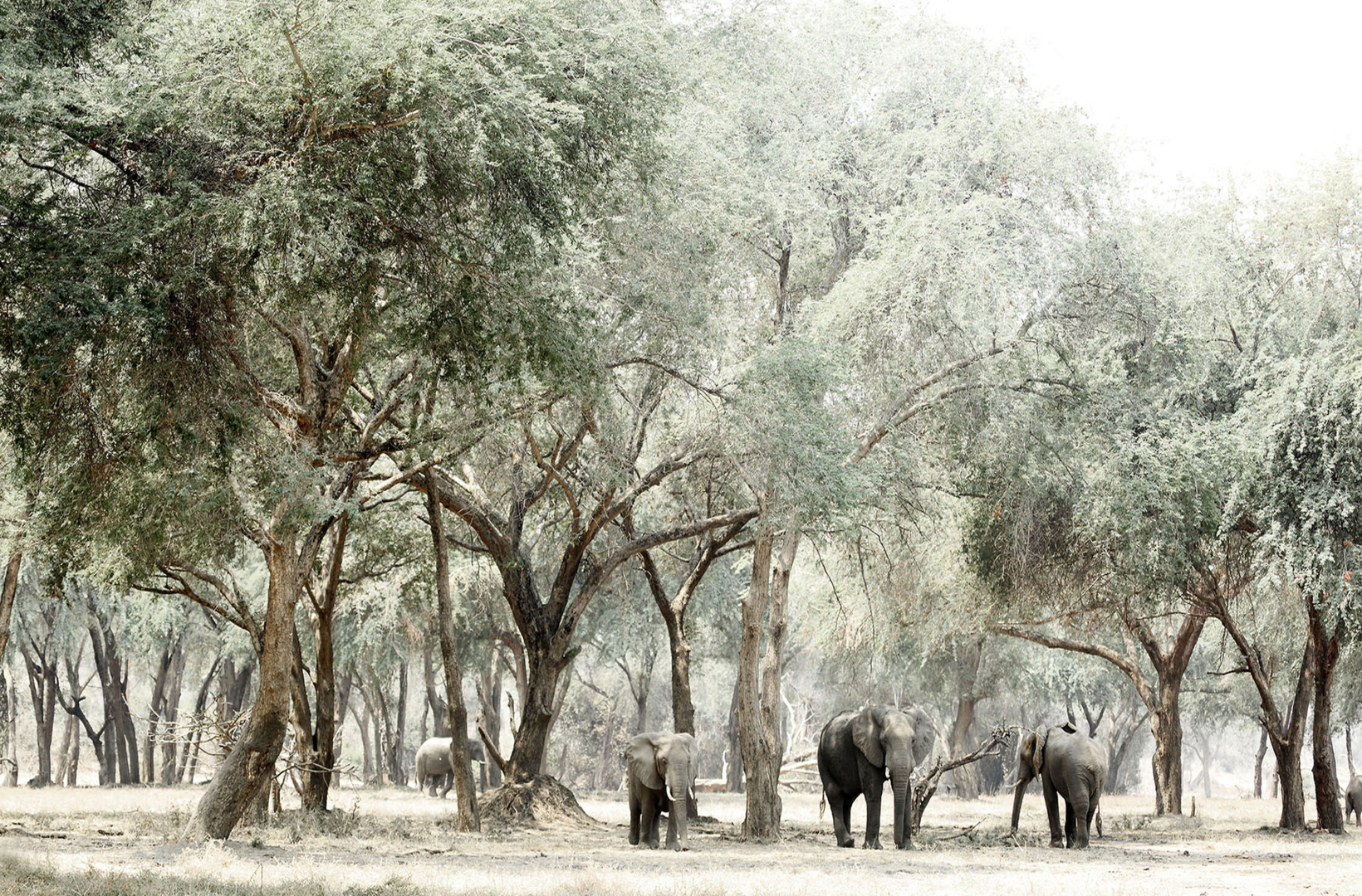 A small herd of African elephants graze the glades of Ana trees for fallen seed pods at Mana Pools National Park in Zimbabwe