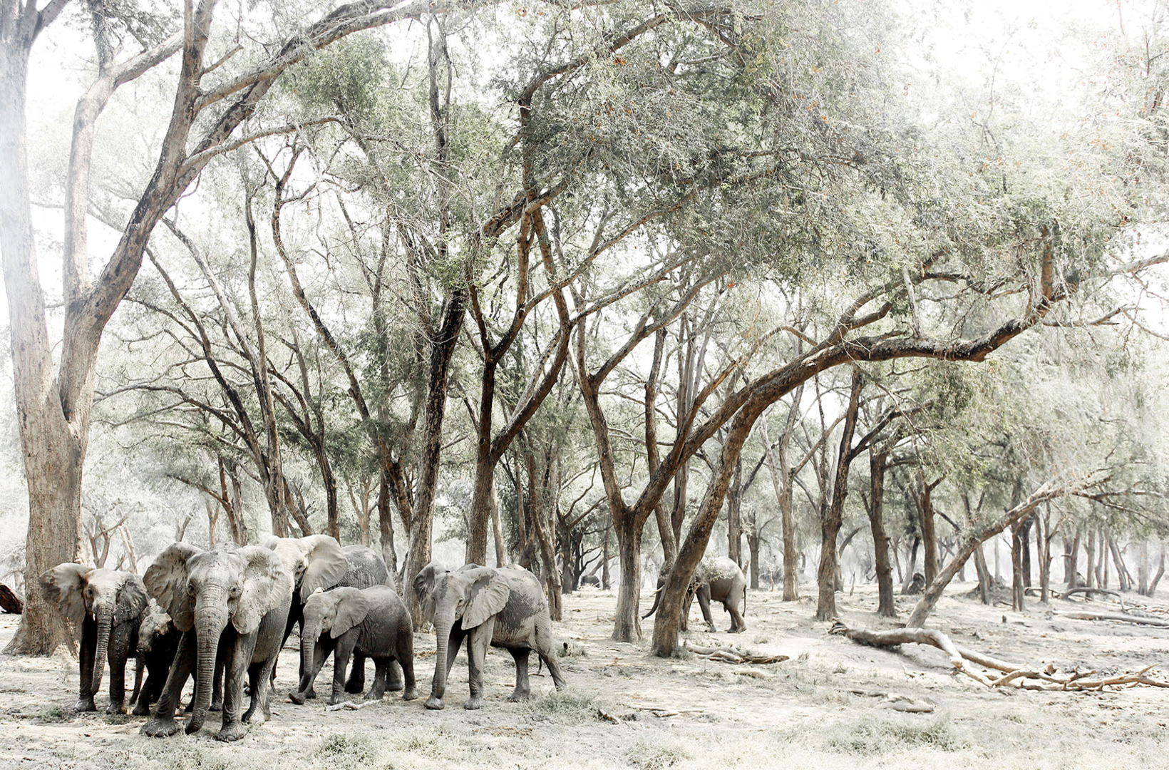A breeding herd of African elephants cross a dry riverbed to seek the shade of Acacia trees walking in Mana Pools National Park Zimbabwe