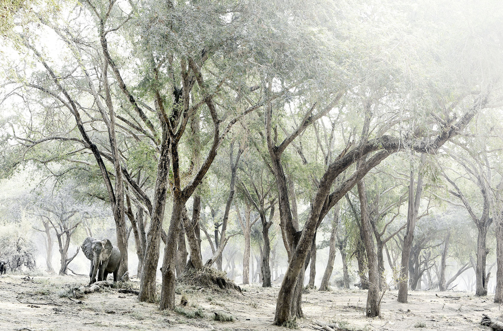 A lone African elephant approaches through a haze of midday heat walking through the forest at Mana Pools National Park in Zimbabwe