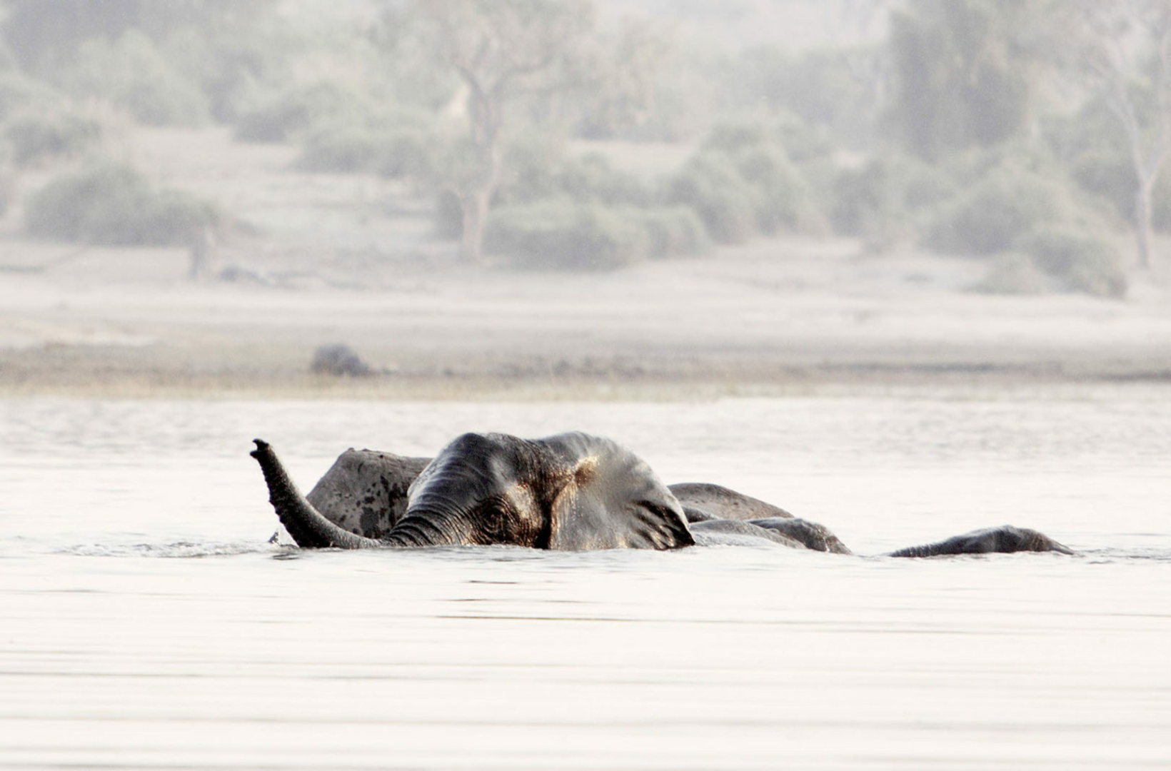 A pair of elephant bulls cajole happily in the Chobe river, in play