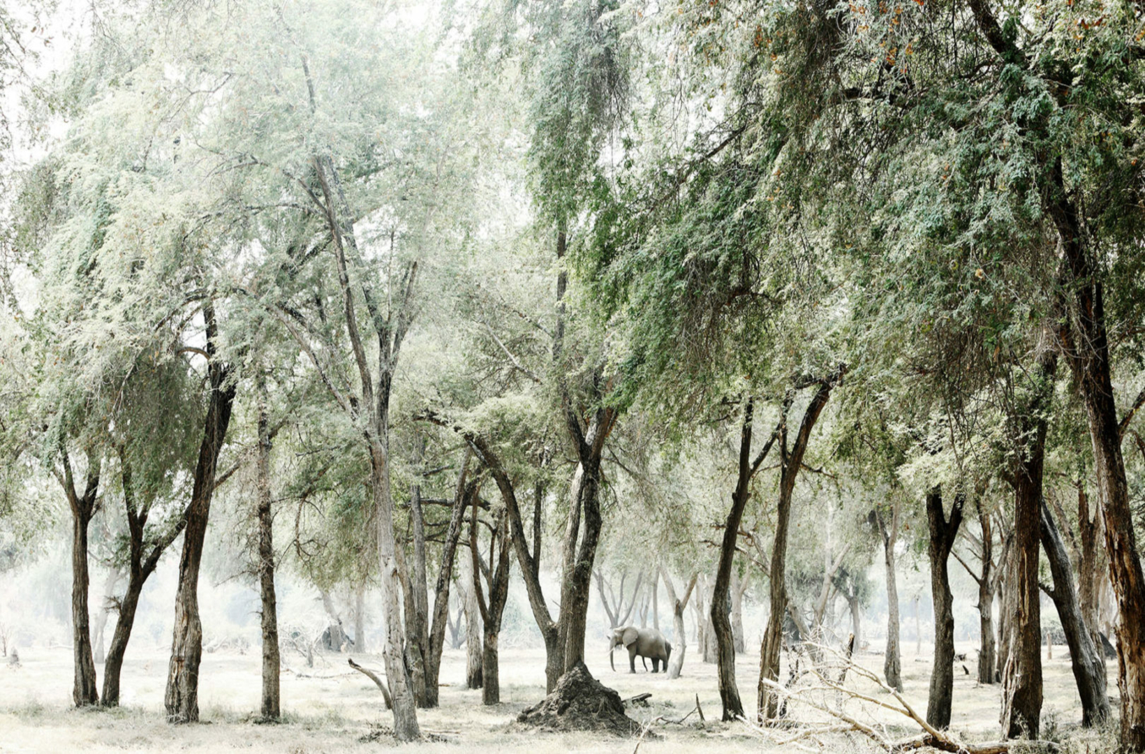 Albida Fibida trees stand sentinel to a distant African elephant gliding through a glade of trees in Mana Pools National Park Zimbabwe