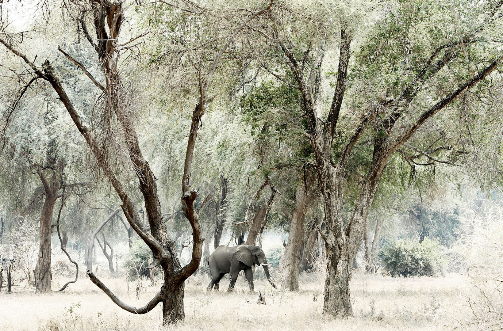 African elephant grazing the riverine forest at Mana Pools National Park Zimbabwe