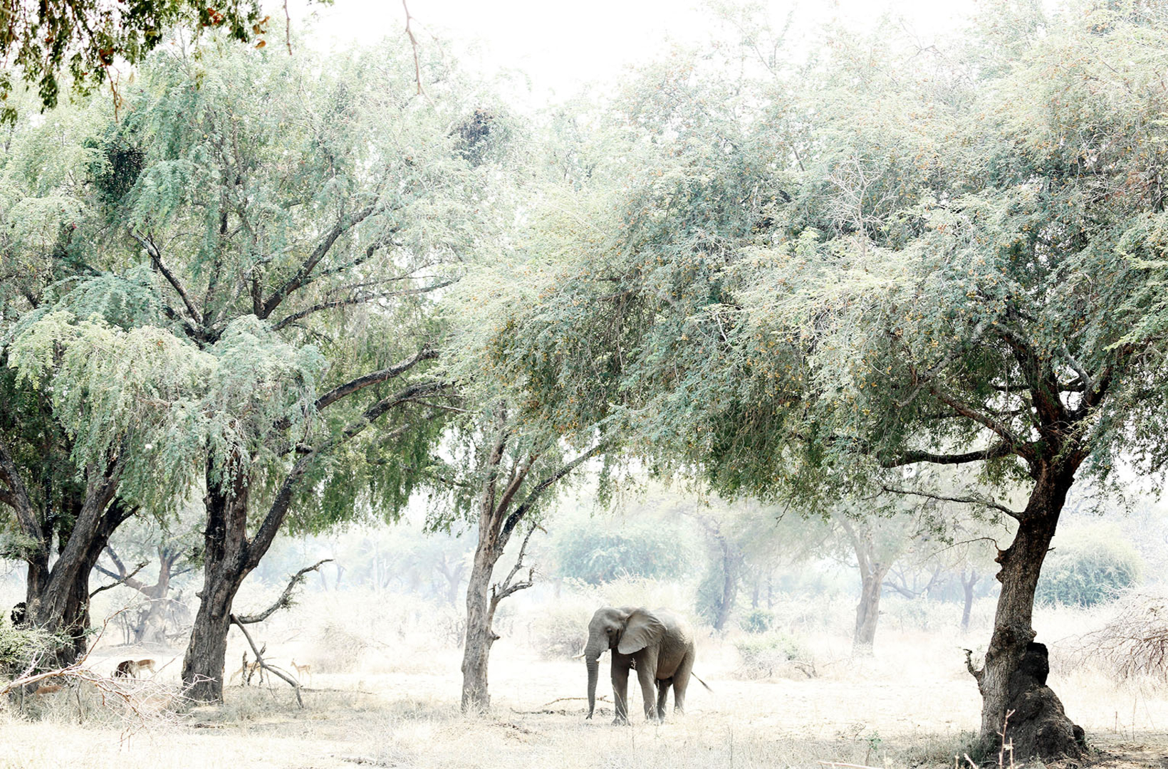 Lone African elephant idles in the shade of an Albida Fibida Acacia tree in Mana Pools National Park Zimbabwe