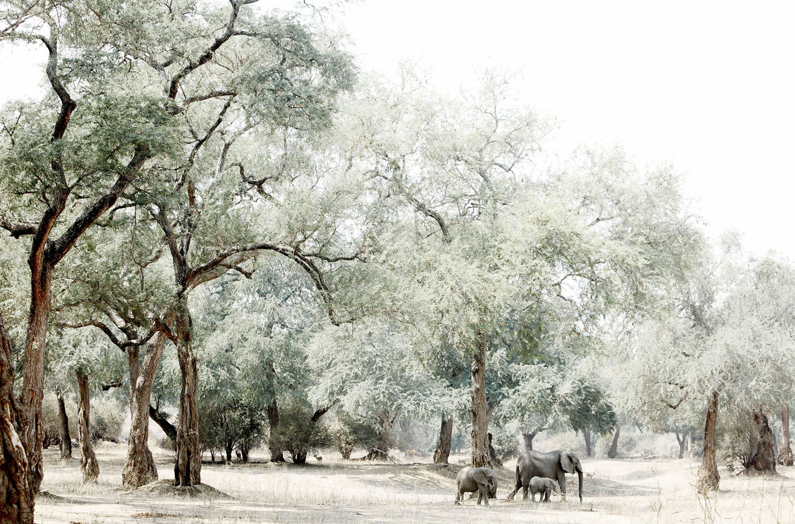 A small family of elephants walks across a dry riverbed in search of water in Mana Pools National Park Zimbabwe