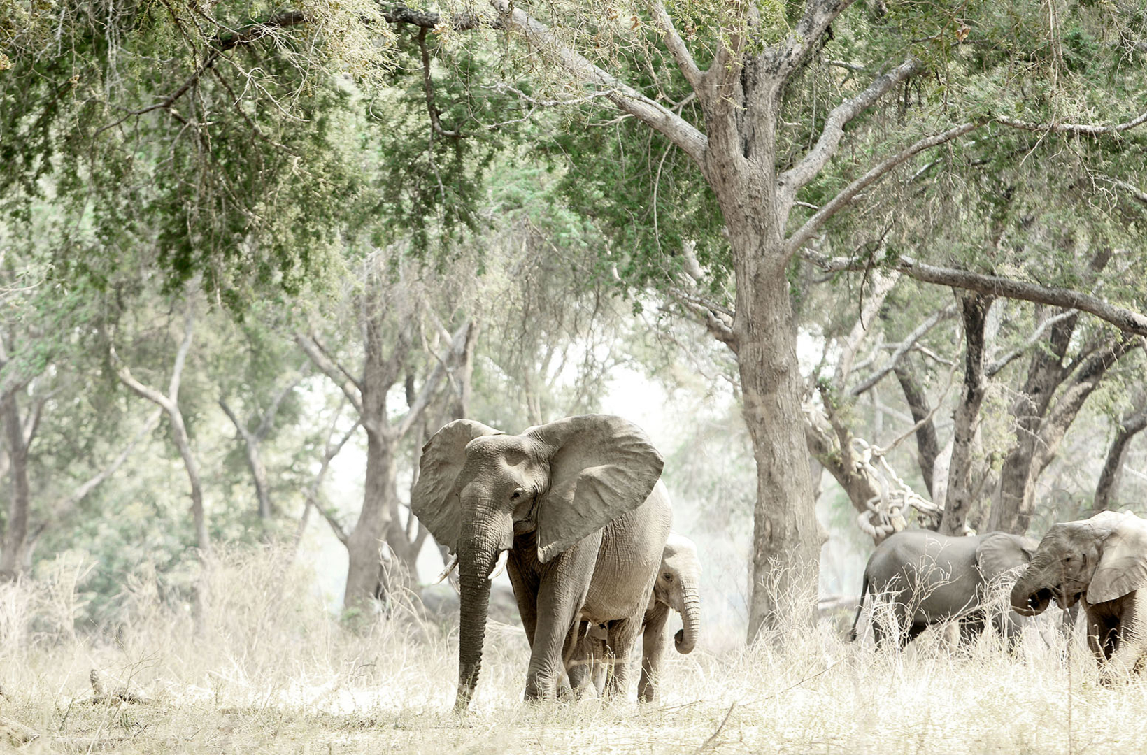 African elephant flares its ears in a riverine glade of Mana Pools National Park Zimbabwe