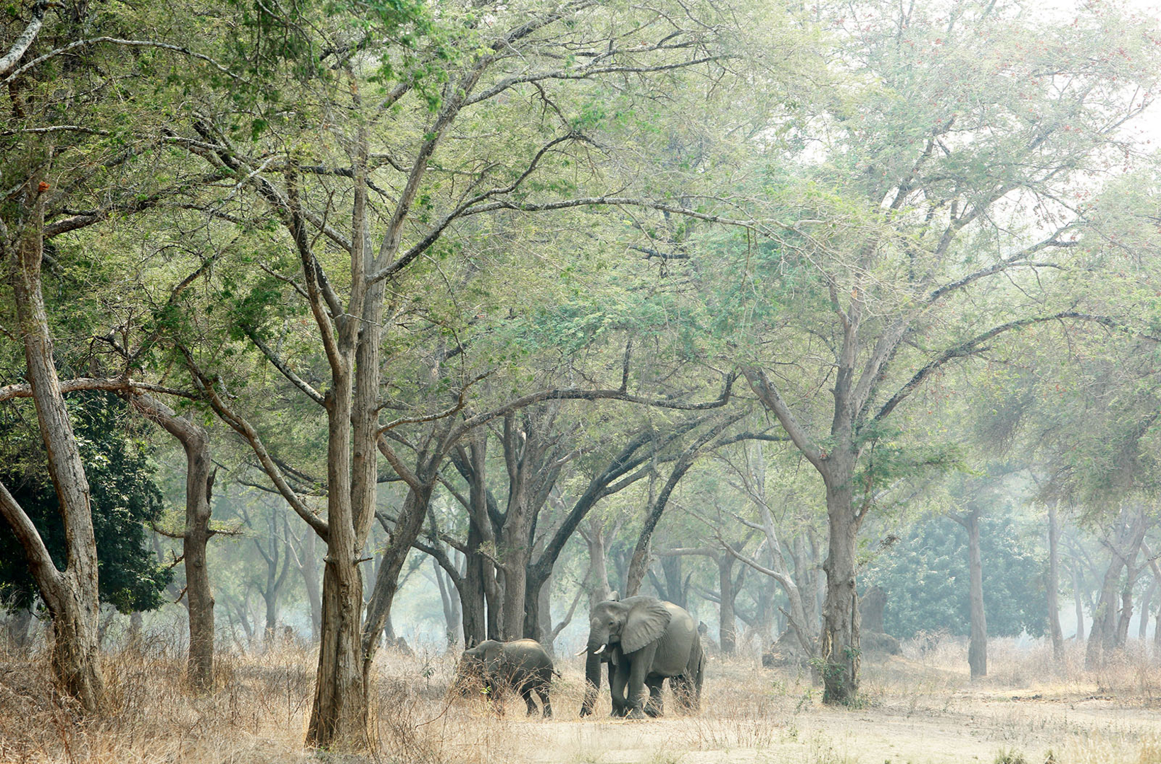 A small herd of African elephants walk through a riverine forest of Mana Pools National Park Zimbabwe