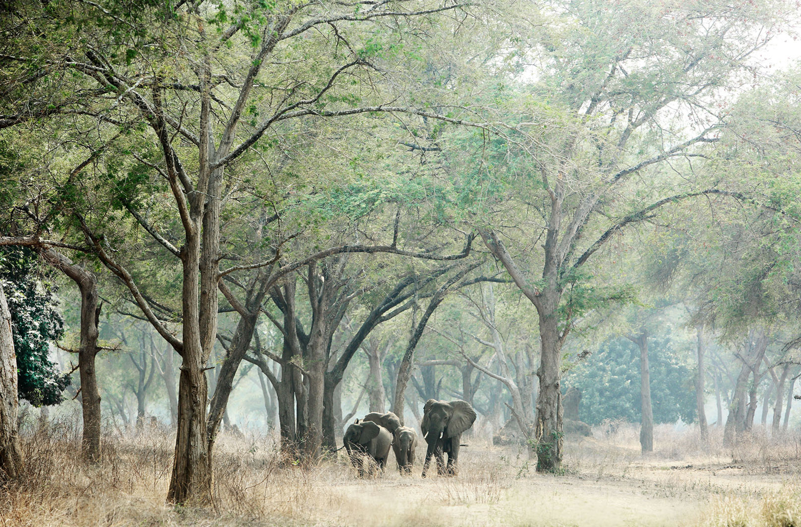 African elephants walking through forest at Mana Pools National Park in Zimbabwe