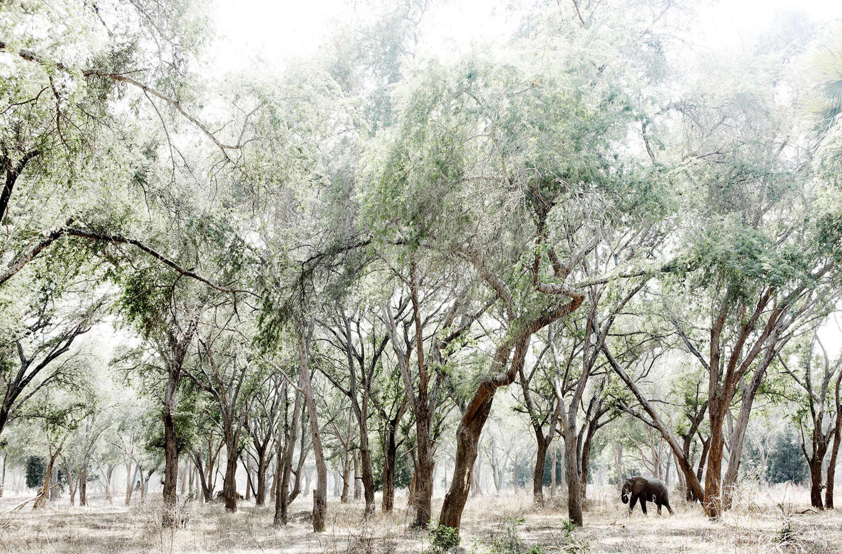 A glade of Ana trees creates a shaded amphitheatre for a lone African elephant walking through the forest in Mana Pools National Park Zimbabwe
