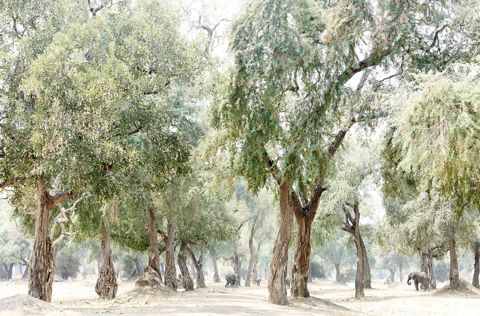 A regal Albida Fibida forest is a ripe feeding ground to a herd of African elephants seeking the dropped seed pods in Mana Pools National Park Zimbabwe
