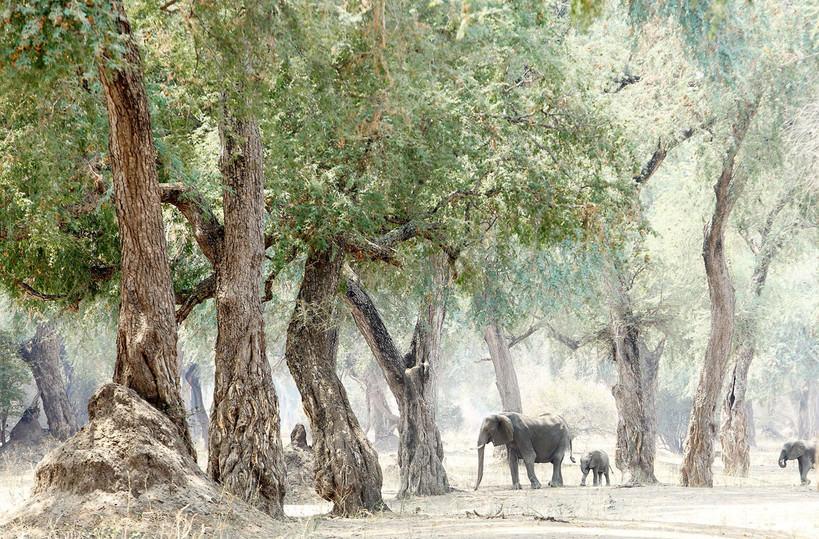 An African female elephant walks through a forest with her calf in Mana Pools National Park Zimbabwe