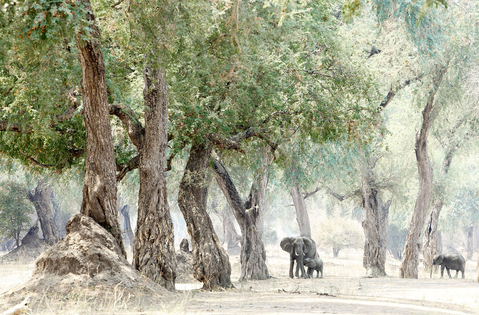 A small elephant calf nurses from its mother amongst the shade of an Albida Fibida glade in Mana Pools National Park in Zimbabwe