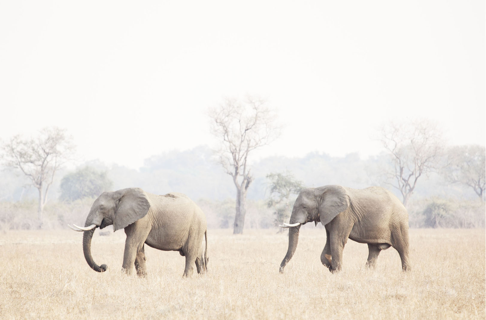 Two African elephants move slowly across the savanna at dusk in South Luangwa National Park in Zambia