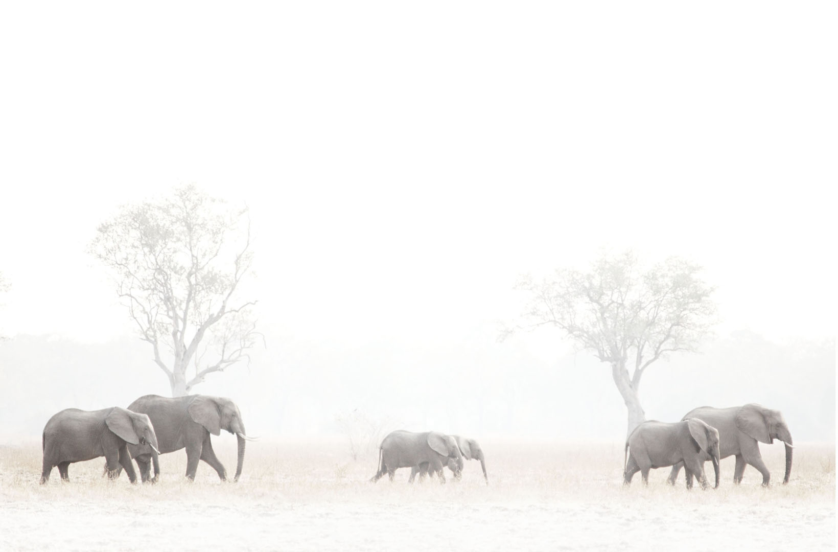 A matriarchal family of elephants glide across the plain of Africa savanna at dusk making their way to the river
