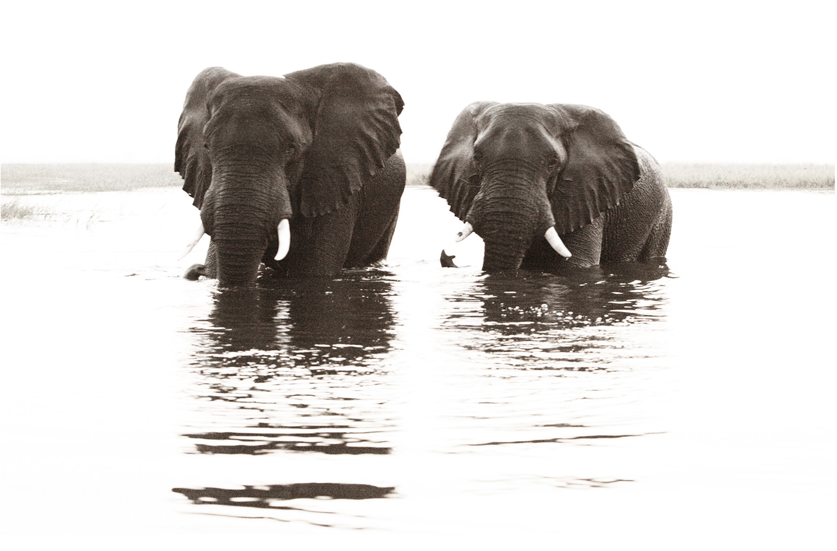 Two large male elephant bulls greet the sunset from the Chobe River Botswana
