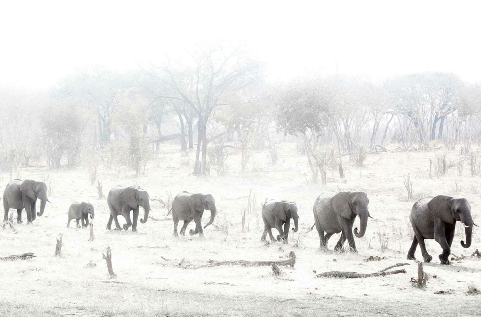 A train of African Elephants rushes through a dusty plain of Hwange National Park Zimbabwe towards a source of water