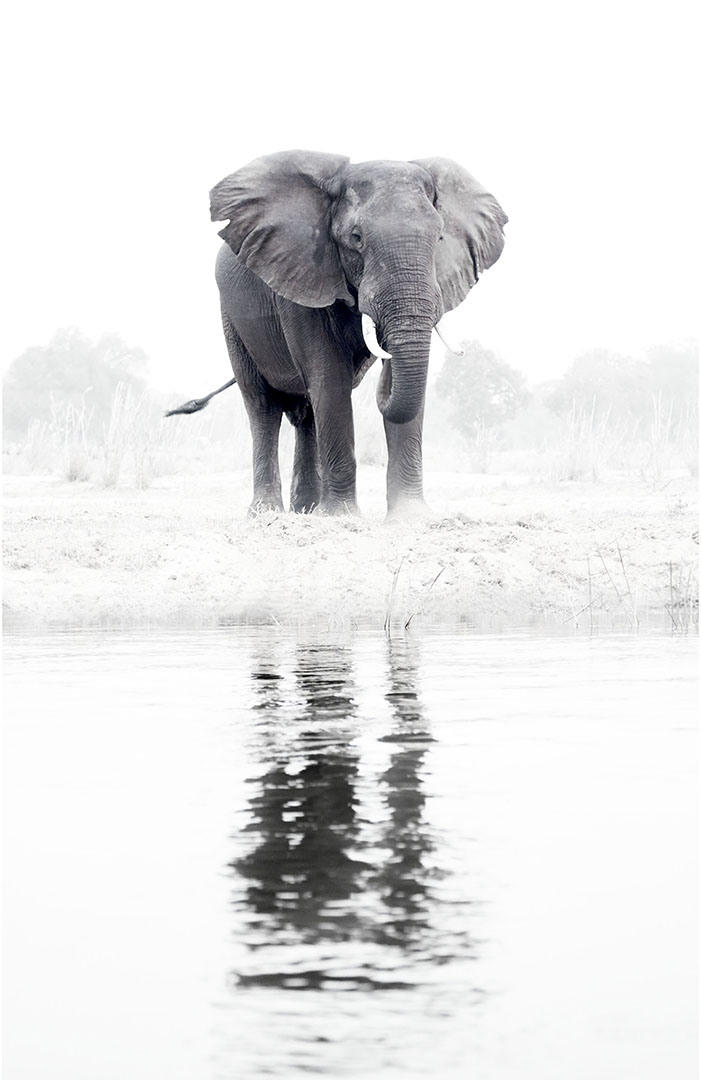 A large male bull elephant stands sentinel on the Zambezi River grazing and watering himself at the rivers edge