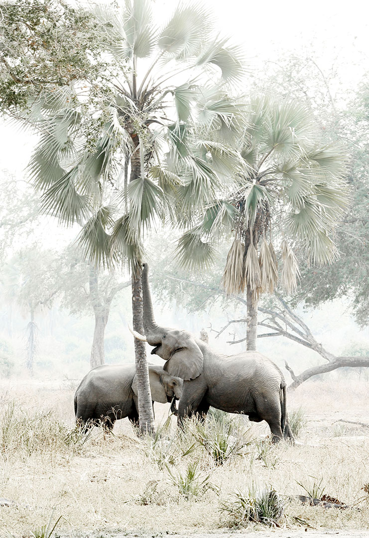 African elephant grazing palm nuts from a Lala palm at Mana Pools National Park Zimbabwe