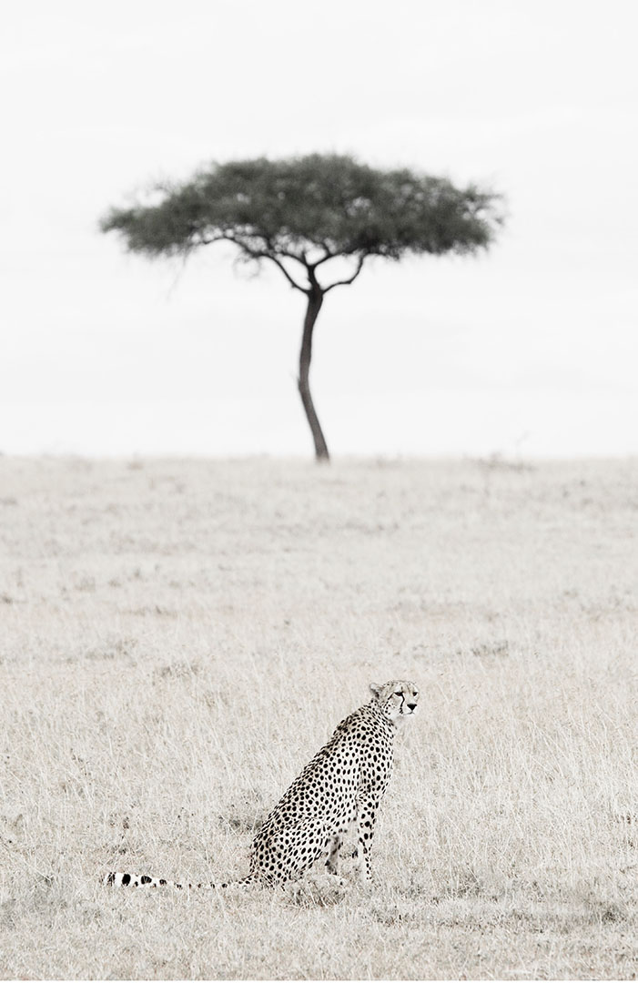 African cheetah sits sentinel on the plains of the Masai Mara Kenya in front of a lone acacia