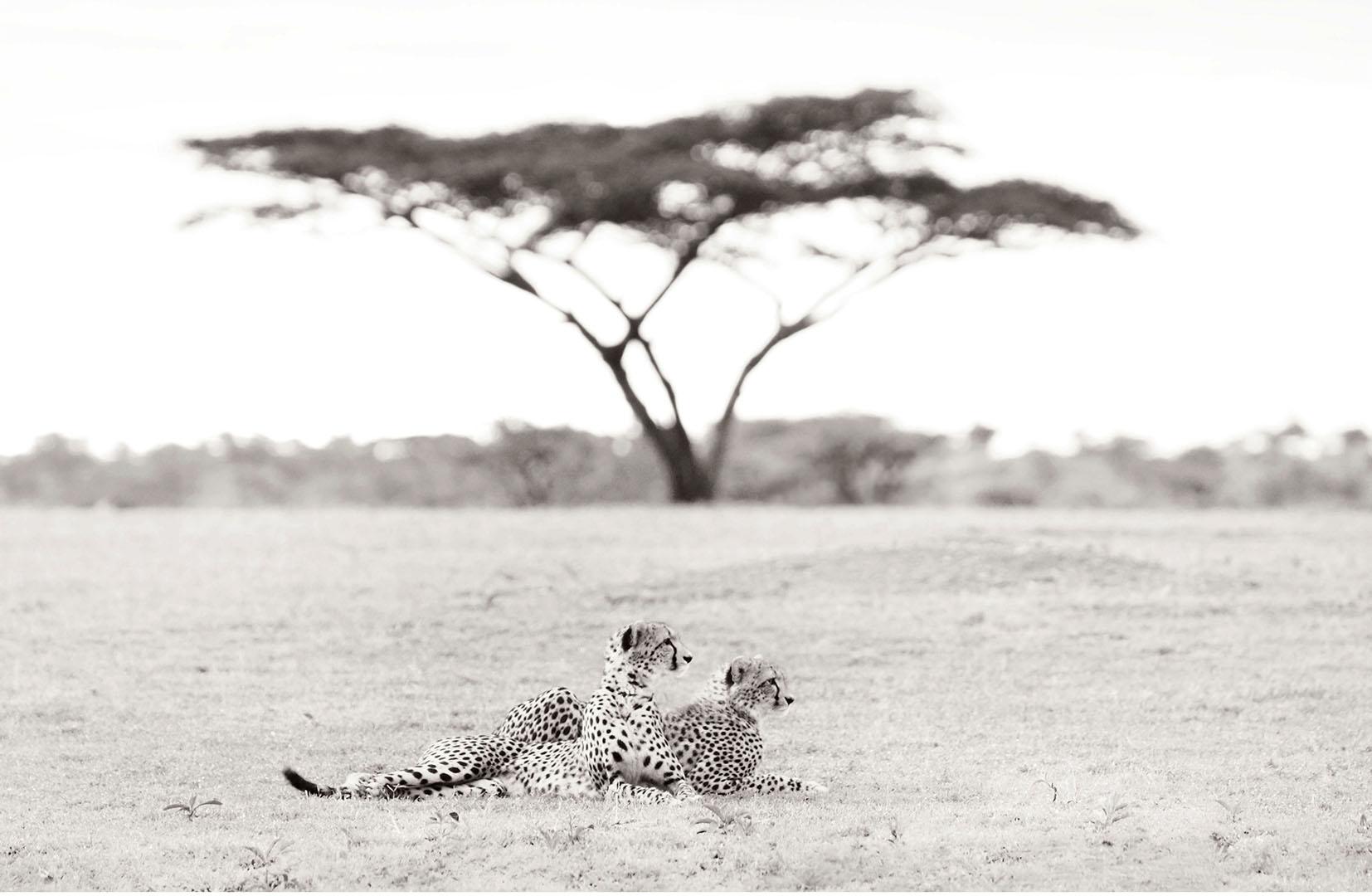 A pair of African cheetahs survey the horizon of the Serengeti Tanzania